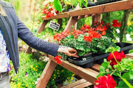 woman pick pelargonium geranium flower from