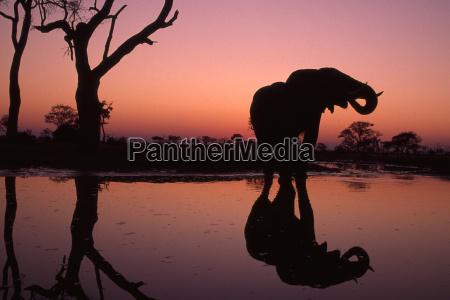 afrikanischer elefant bei sonnenuntergang loxodonta africana