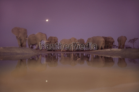 afrikanische elefanten in der daemmerung loxodonta