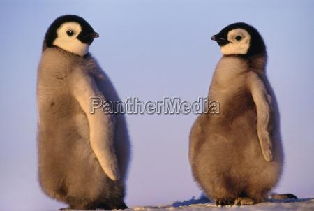 kaiserpinguin kueken aptenodytes forsteri antarktis