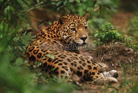 jaguar ruht im wald panthera onca