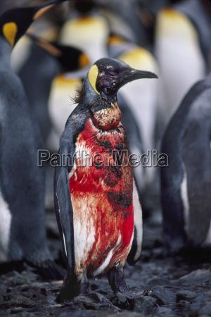 blutiger koenigspinguin aptenodytes patagonicus verletzt durch