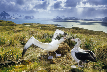 wandernde albatrosse umwerben diomedea exulans south
