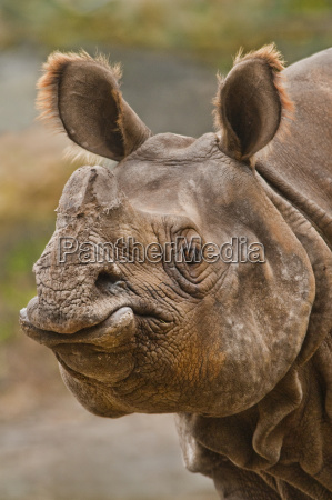 indisches nashorn rhinoceros unicornis white oak