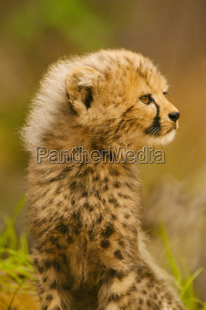 gepardjunges acinonyx jubatus konservierungszentrum der weissen