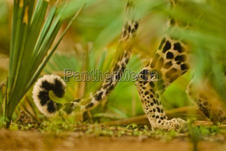 leopardschwanz panthera pardus niokolo koba nationalpark