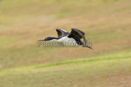 blauaeugiger shag im flug phalacrocorax atriceps