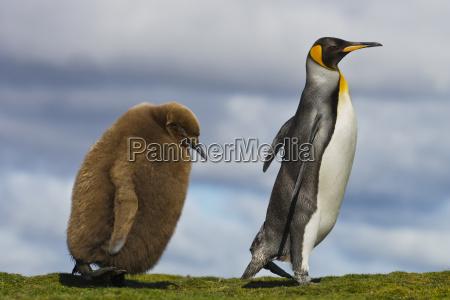 koenigspinguin kueken das elternteil aptenodytes patagonicus