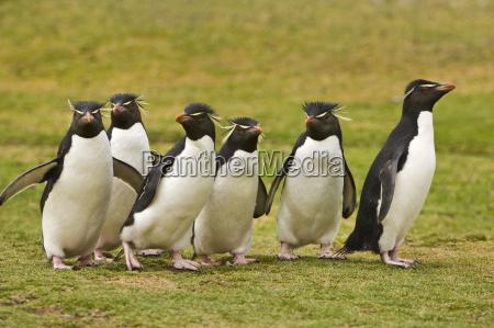 rockhopper pinguine eudyptes chrysocome saunders island