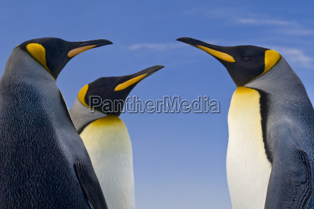 koenigspinguine aptenodytes patagonicus falklandinseln