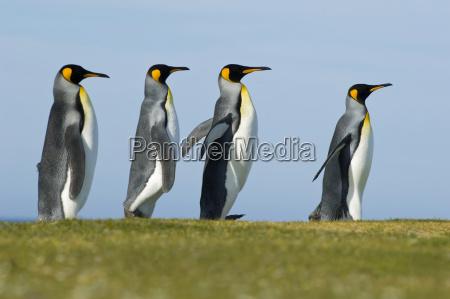 koenigspinguine umwerben aptenodytes patagonicus falklandinseln