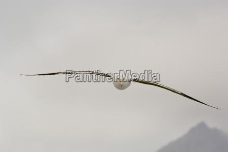 wanderalbatros im flug diomedea exulans south