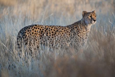 gepard acinonyx jubatus cheetah conservation fund