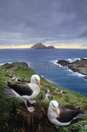 schwarzbrauen albatros paar thalassarche melanophrys south