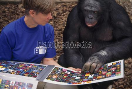 eine forscherin und bonobo huendin panbanisha
