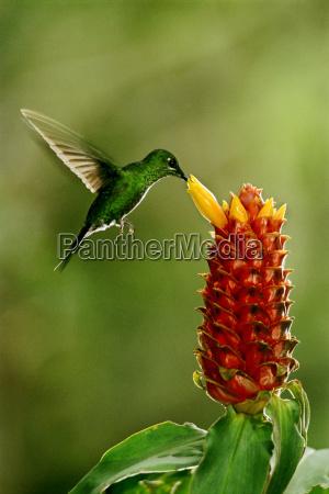 gruen gekroenter glaenzender kolibri heliodoxa jacula