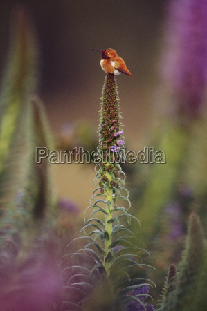 rufous hummingbird on flower stalk selaphorus