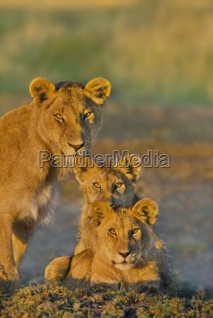 tier saeugetier afrika kenia loewe katze
