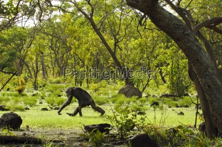 schimpanse knuckle walking pan troglodytes verus