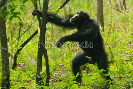 schimpansen maennlich mit erigierten penis zum