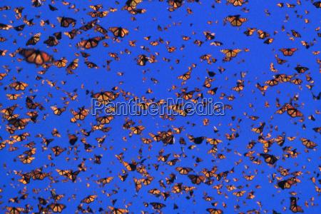 monarchfalter im flug danaus plexippus michoacan