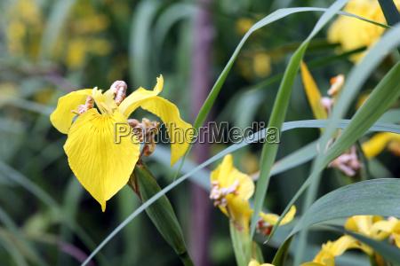 yellow iris iris pseudacorus water lilac