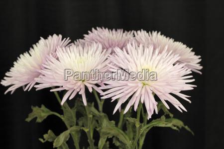 violet white chrysanthemum flowers on black