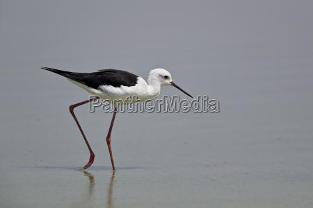 black winged stilt himantopus himantopus selous