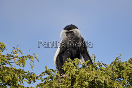 angola colobus angolan black and white