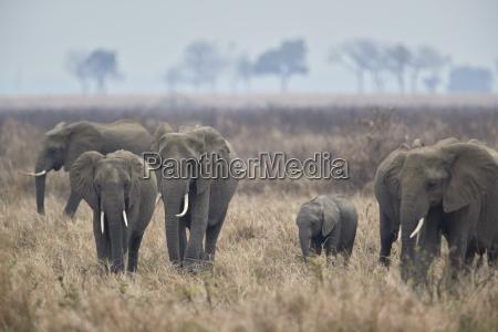 herd of african elephant loxodonta africana