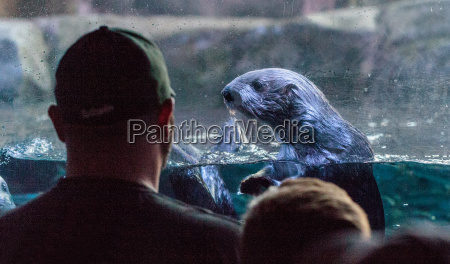 otter starrt auf einen mann und
