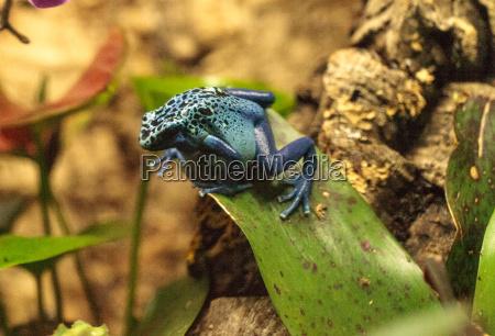 amphibie frosch