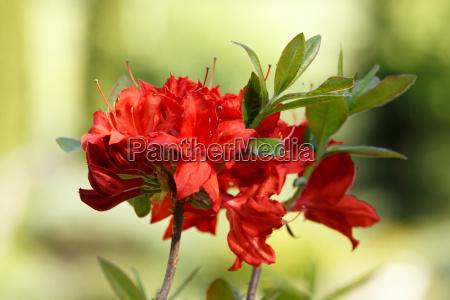 roter rhododendron azalea blueht im fruehlingsgarten