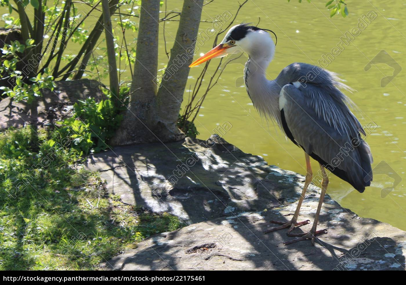 the, grey, heron, is, standing, on - 22175461