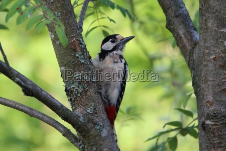 spotted woodpecker on a rowan