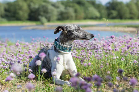 gray white whippet lies on the