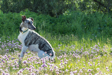 gray white whippet sitting on the