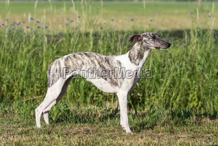 gray white whippet is standing on