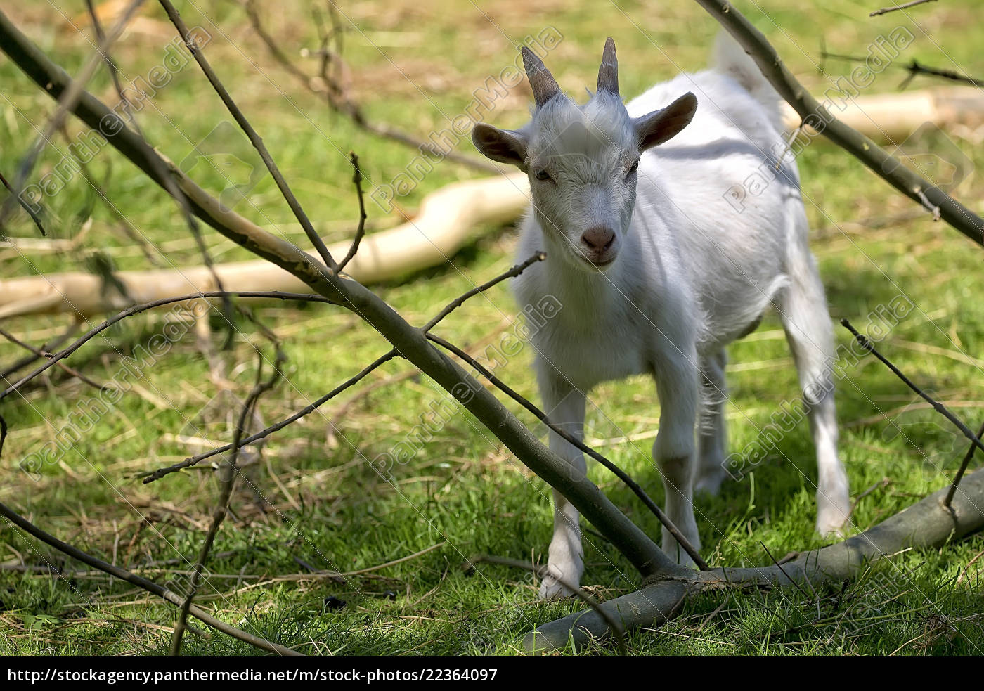 white, goat, in, a, clearing, - 22364097