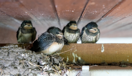 four young swallows inbirds nest