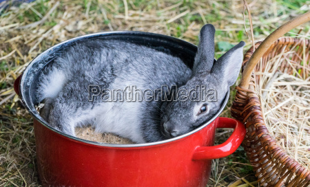 a gray rabbit in a red