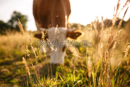 kuehe auf der weide im sommer