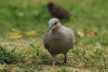 eurasian collared dove in the grass
