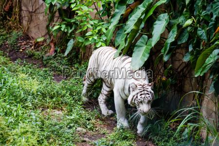 weisser tiger panthera tigris tigris in