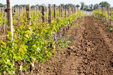 reihen von jungen rebsorten wachsen trauben