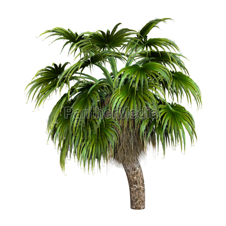 3d rendering palm tree on white