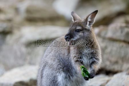 rot necked wallaby kaenguru baby