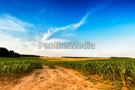 sommerlandschaft mit gruenem maisgetreidefeld