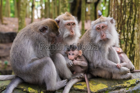 makakenaffen mit jungen am affenwaldbaliindonesien
