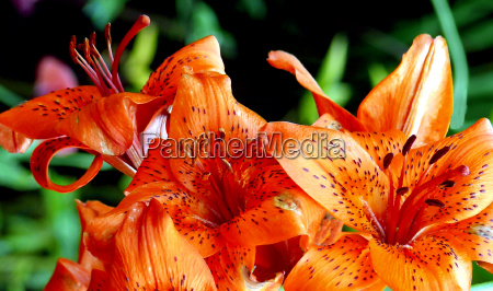 lilies 30